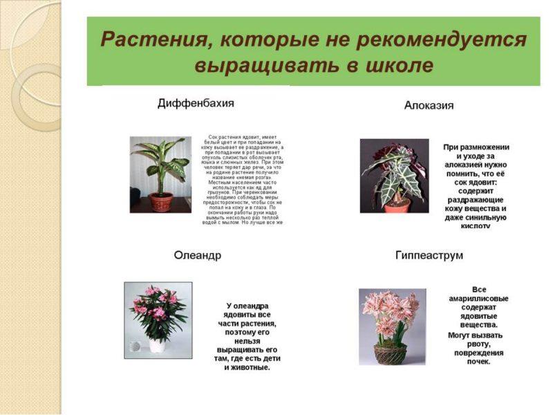 Цветы, которым не место в школьных кабинетах ваших детей