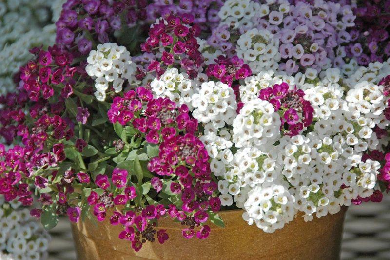 Сама нежность: 3 однолетника, которые можно посеять под зиму (бонус - раннее цветение!)