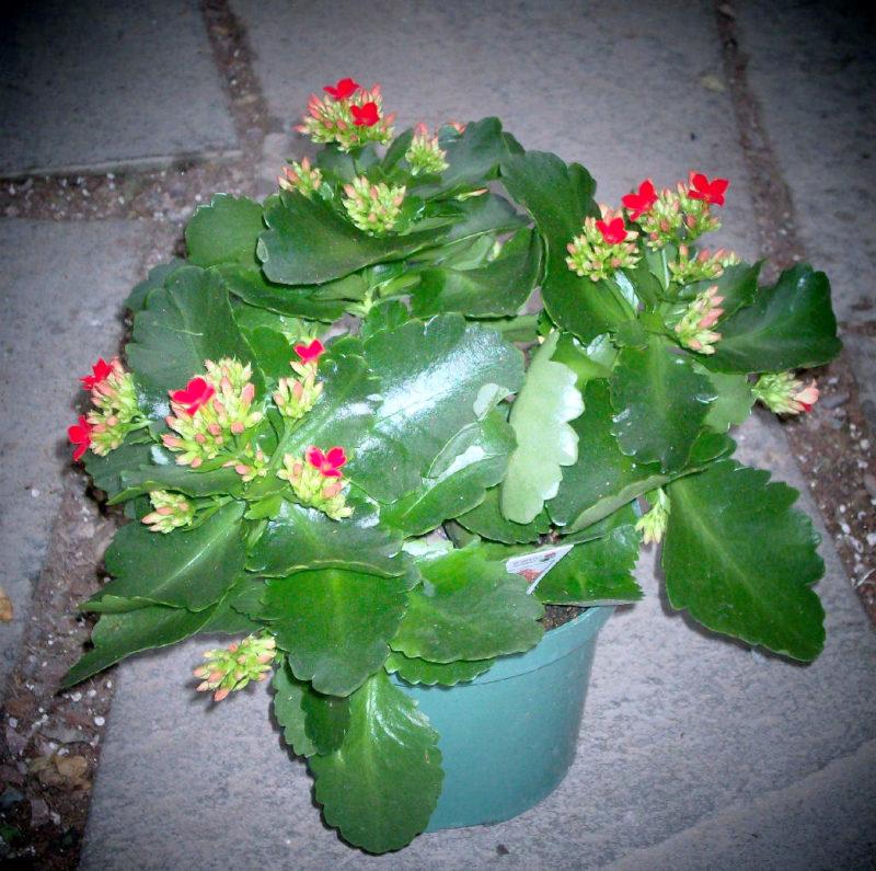 Почему каланхоэ не цветет, а дает только одну листву