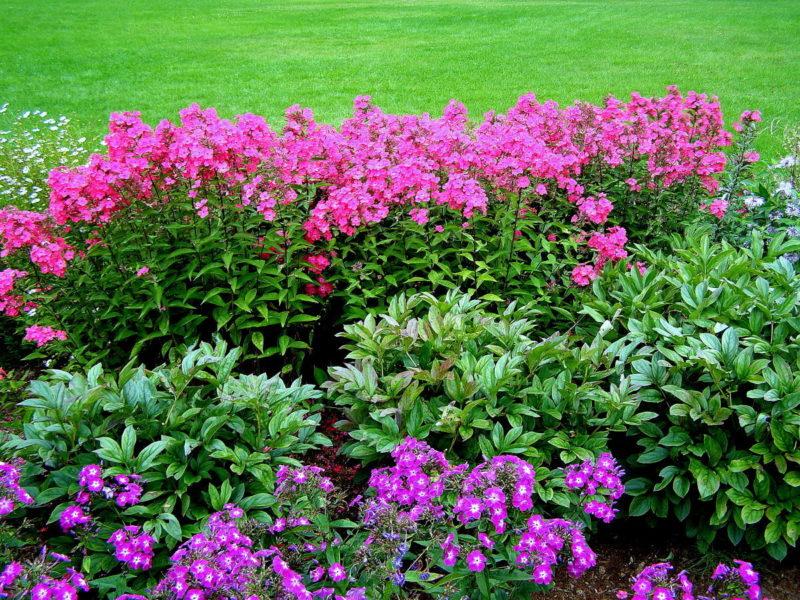 Самые неприхотливые многолетние цветы, цветущие всё лето