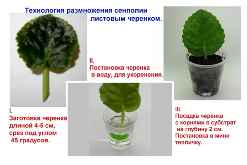 Способы размножения фиалки листом в домашних условиях