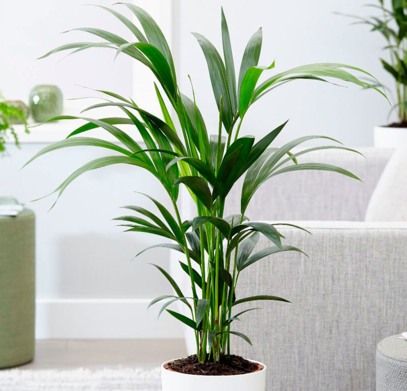 Разновидности и названия комнатных пальм, правила ухода