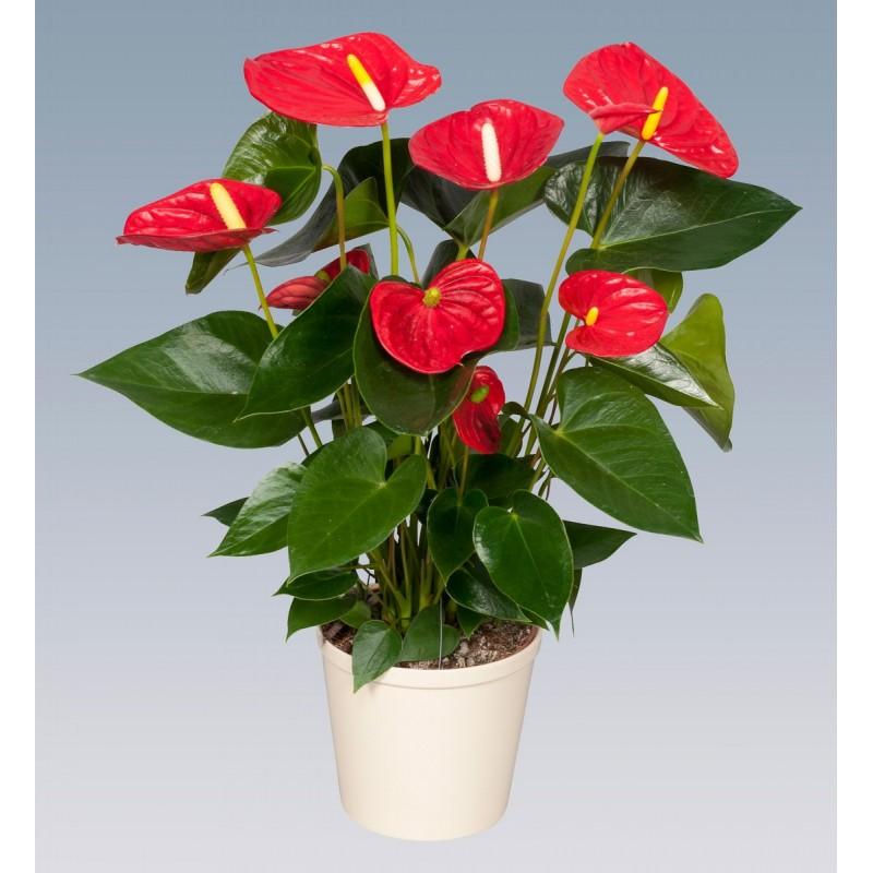 комнатные растения с красным цветком фото с названием пол литровой таре