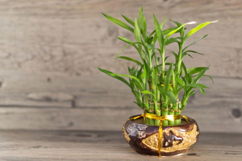 Посадка, размножение и уход за бамбуком в домашних условиях