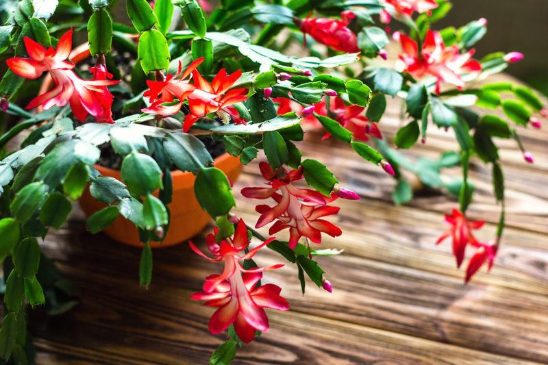 Цветок декабрист: уход в домашних условиях, проблемы выращивания