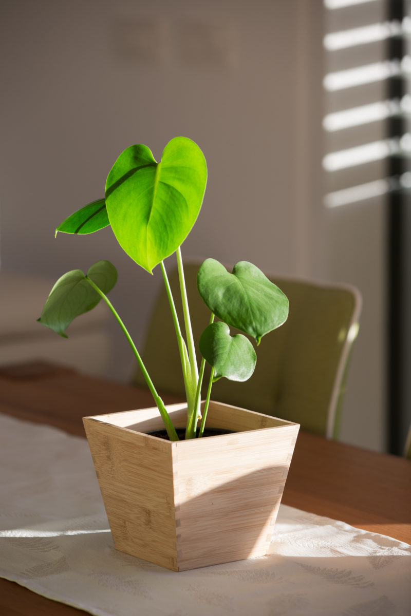 Уход за монстерой в домашних условиях, фото растения