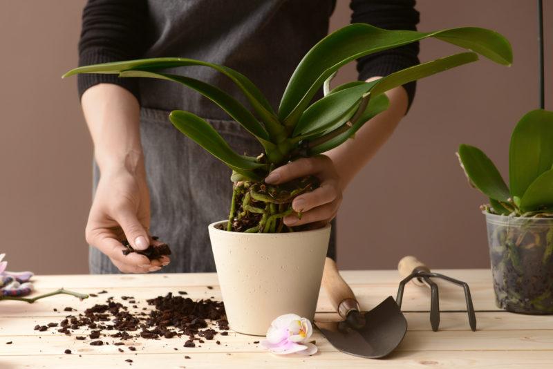 Как реанимировать орхидею, если ее корни сгнили?