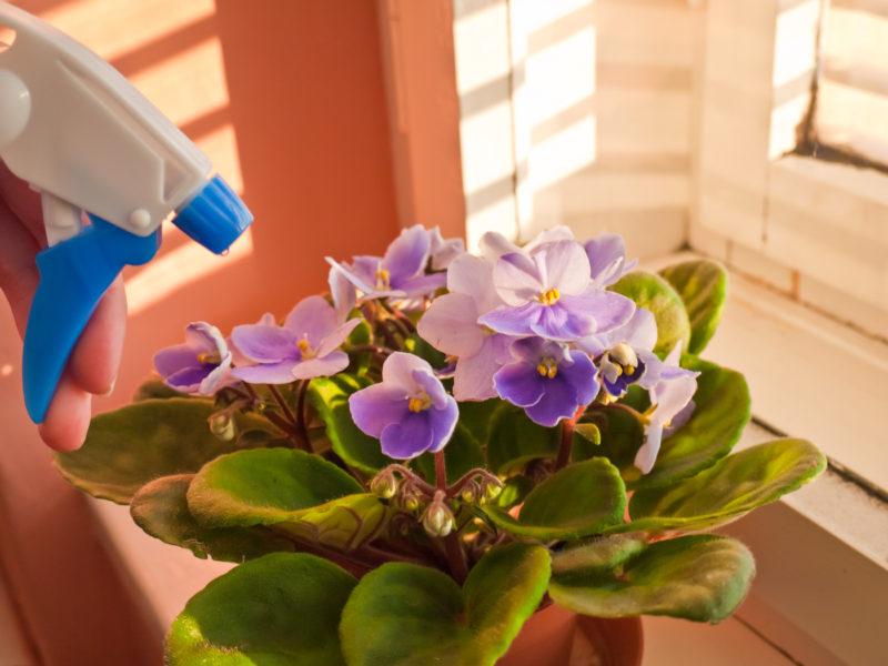 5 эффективных действий, чтобы спасти фиалку, залитую водой