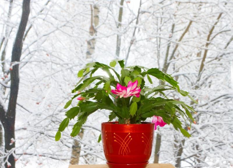 Какие из растений уживутся на «северном» окне, где мало солнца