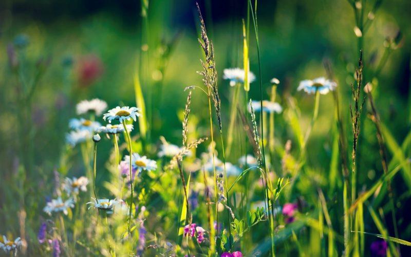 Луговые цветы: названия полевых растений и фото