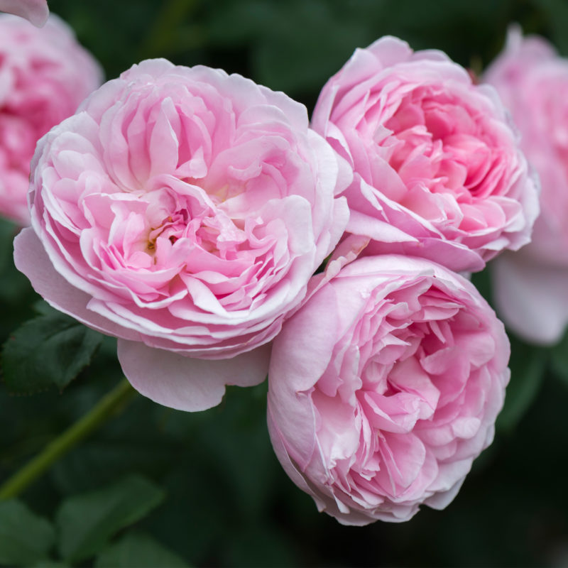 Чем английская роза отличается от обычной