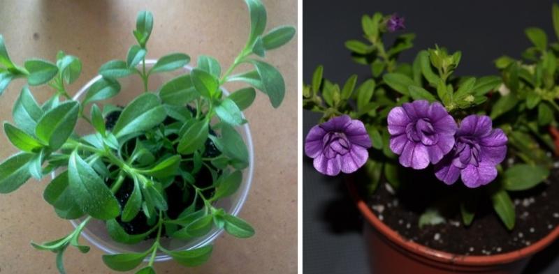 Калибрахоа: выращивание из семян, уход и фото