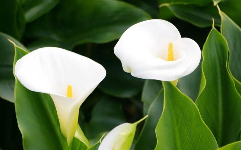 Значения, которые придаются цветкам каллы