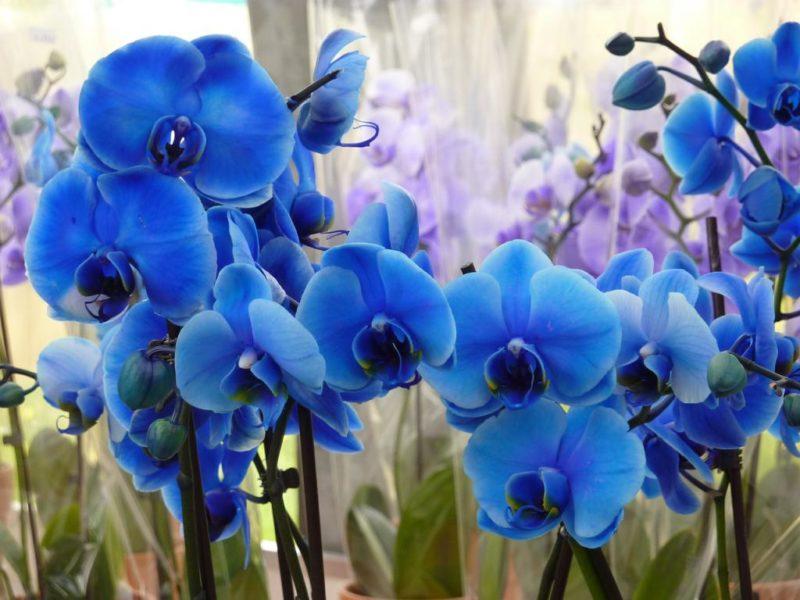 Голубые и синие орхидеи: красота от природы или вмешательство человека
