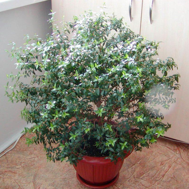 Цветок мирт: фото комнатного растения и уход за ним