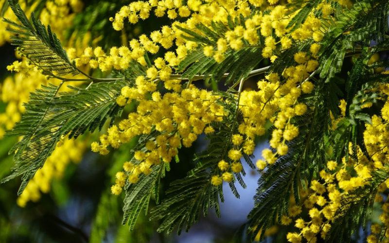 Как и где растет мимоза, цветок это или дерево?