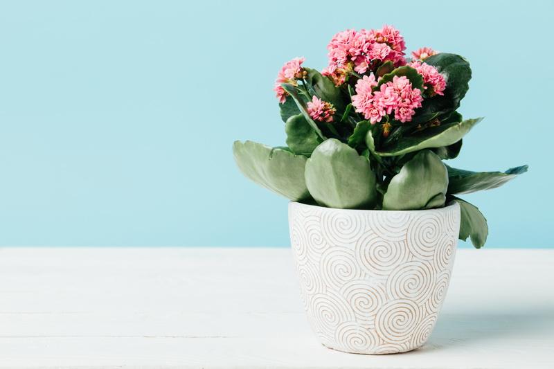 Домашний лекарь каланхоэ: виды цветка с фото и правила ухода