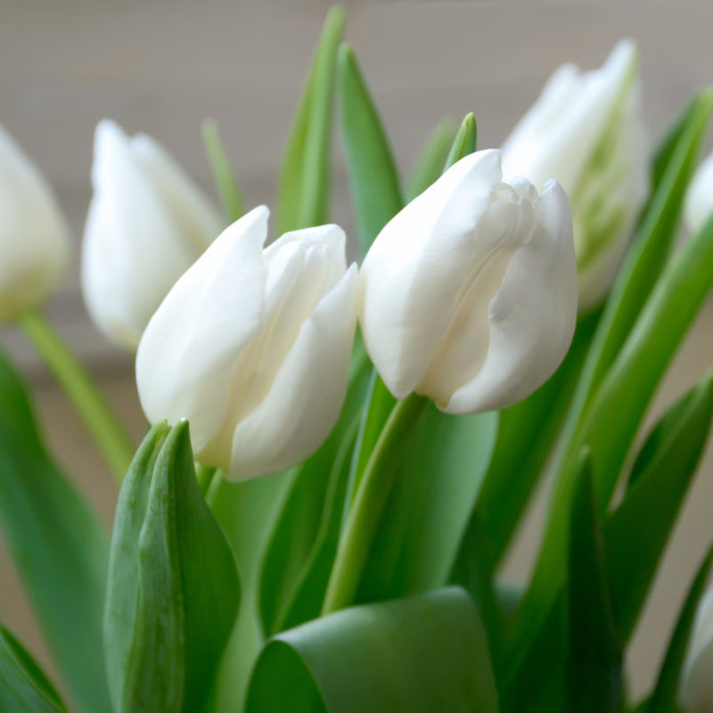 Как вырастить тюльпаны к 8 марта в домашних условиях
