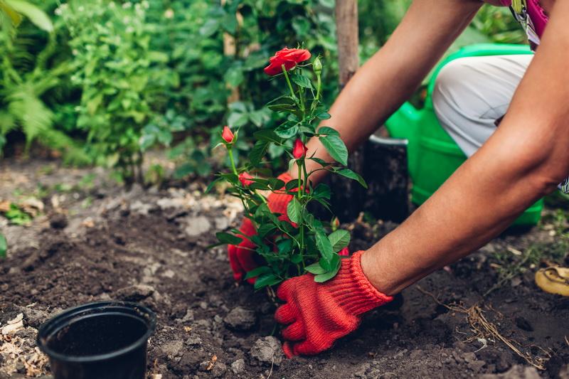 Как пересадить розы весной — правила пересадки на другое место