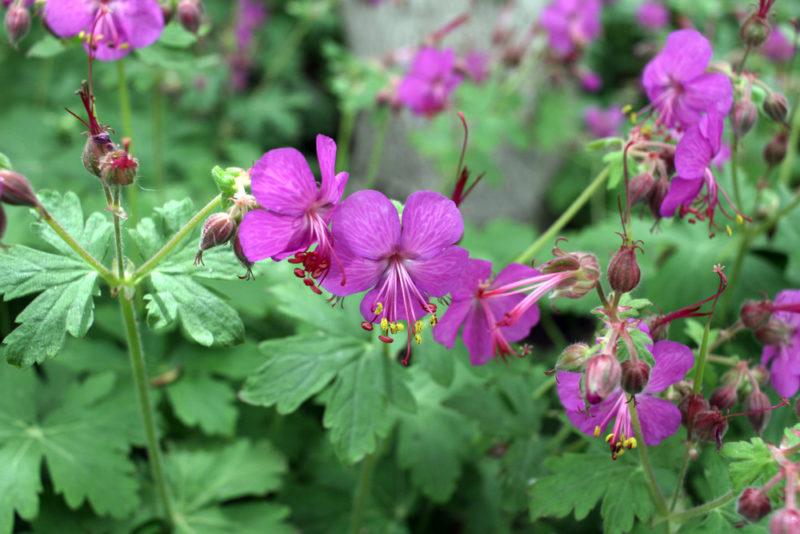 Низкорослые цветы для клумбы: названия и фото