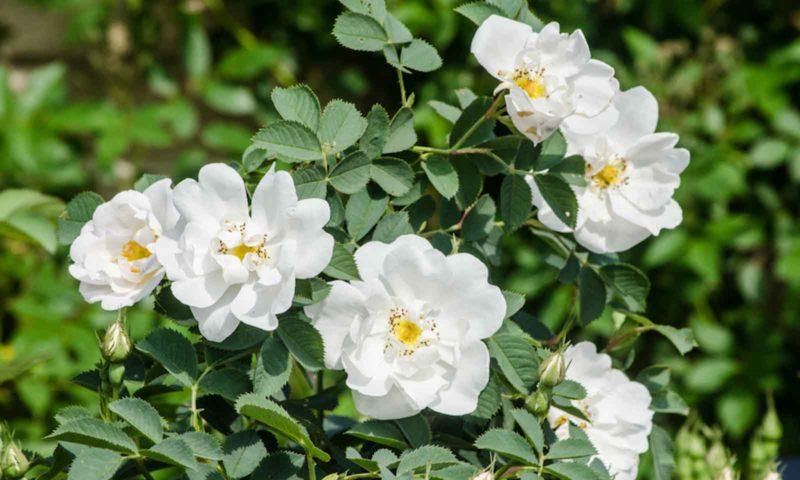 Как я подрезаю розы летом и получаю вторую волну изумительно красивого цветения