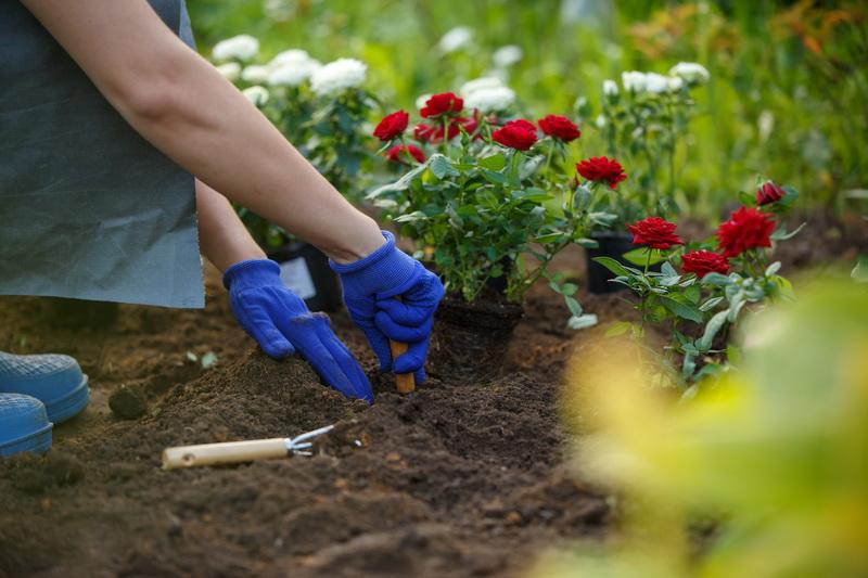 Розы миниатюрные: описание и выращивание в саду