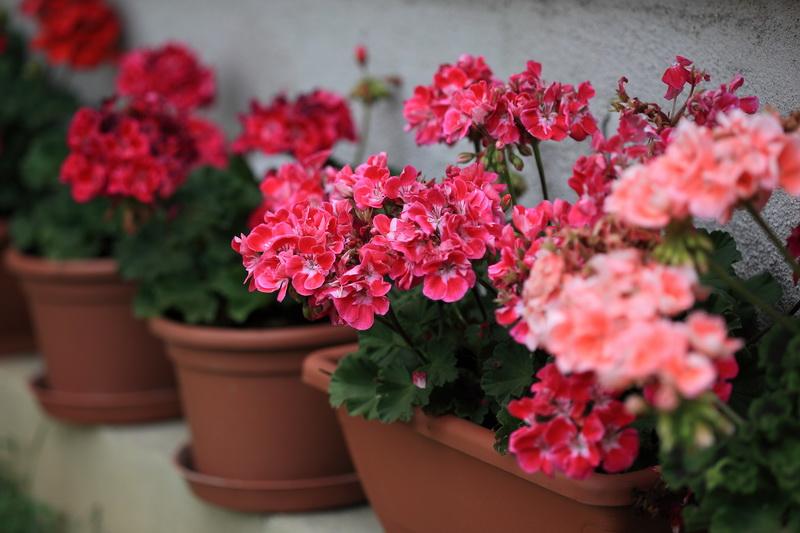 Чудо-удобрения для герани для обильного цветения без химии