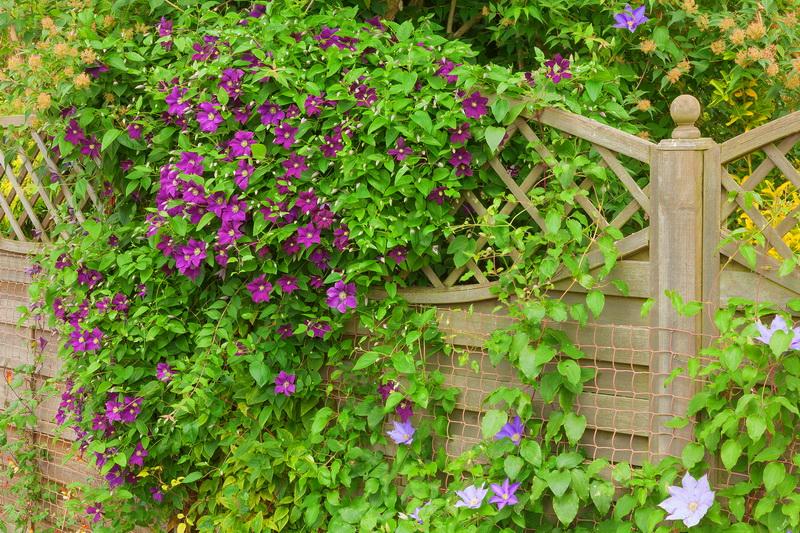 Многолетние лианы для сада: названия и фото