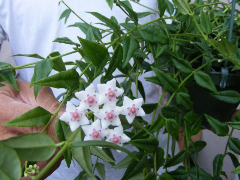 Красивый цветок хойя: можно ли держать его дома