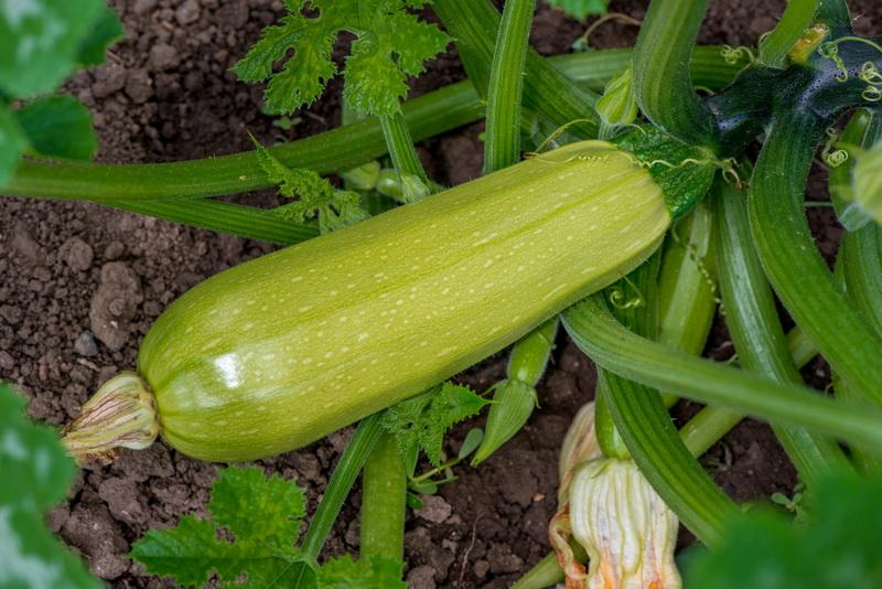 Что я кладу в Лунку, когда сажаю Кабачки. Каждый год собираю огромный Урожай полезного Овоща