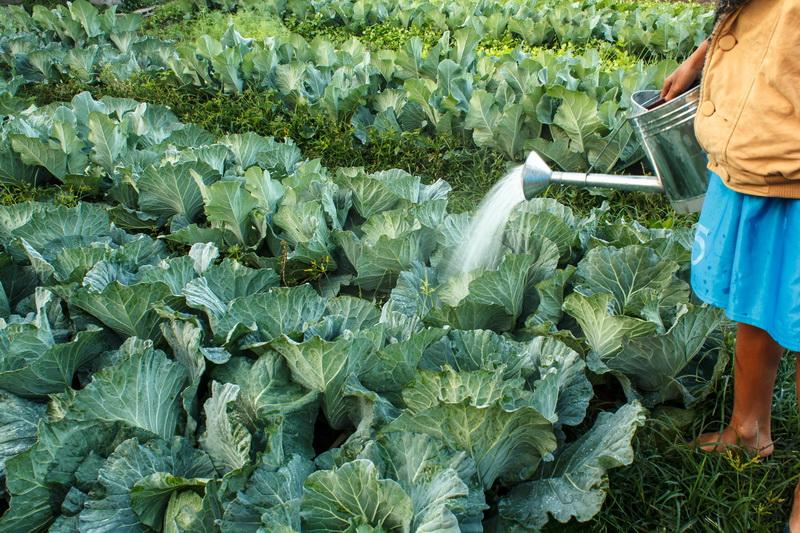 Как без проблем вырастить цветную Капусту. Небольшие хитрости выращивания, без которых Урожая не ждите