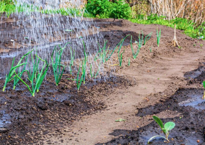 Как приготовить подкормку для лука, чтобы получить отличный урожай